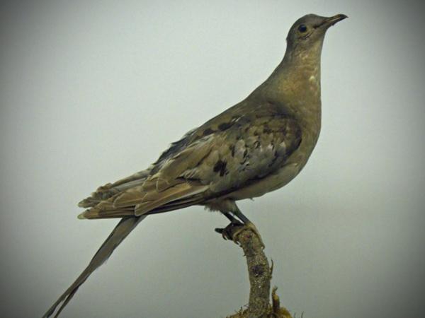 Passenger Pigeon, extinct by 1914